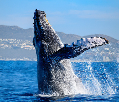 Cabo_Whale_RAD_edit_190214_1133.jpg