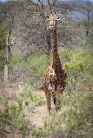 Giraffe_SAfrica-007.jpg