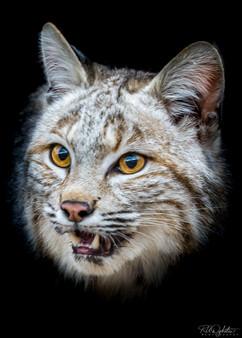 Bobcat_RAD_.jpg