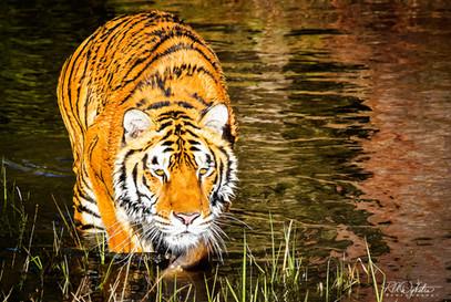 Tiger_RAD_0560.jpg