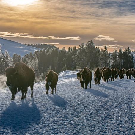 Yellowstone in Winter 2019