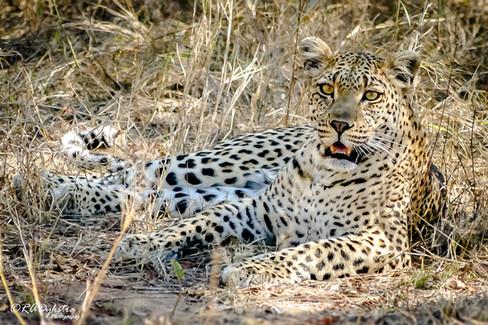 Leopard_RADykstra_400_20131002-0001-2.jpg