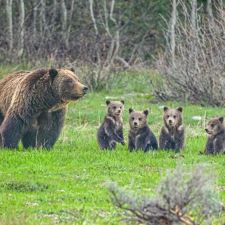 Bears and Babies - Grand Tetons May 2020