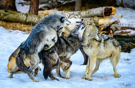 20190323_wolfPack_RAD_2579.jpg