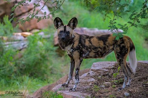 African_Wild_Dog_2.jpg
