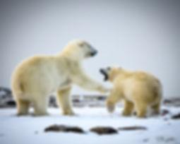 PolarBear_RAD_88322.jpg