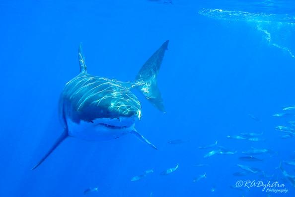 Shark_RADykstra_1200-__201109270001.jpg