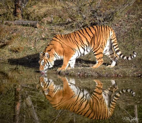 Tiger_RAD_-6.jpg
