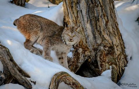 Lynx_RADykstra_1000_20180123-0001.jpg