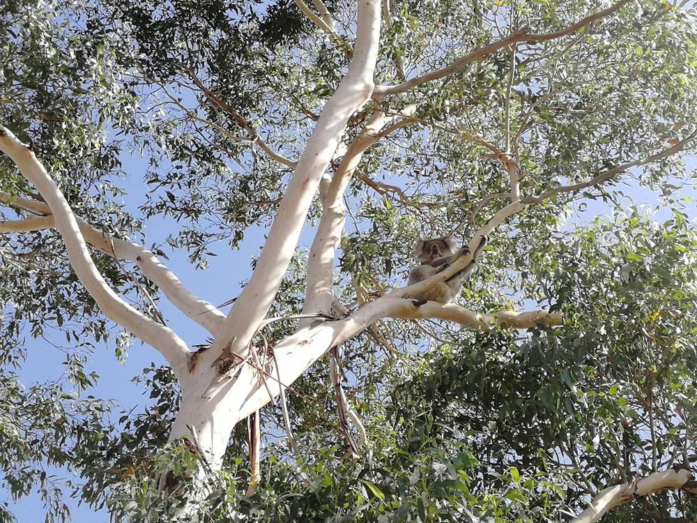 Tour du monde en famille à vélo : koala
