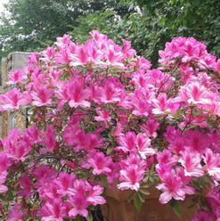 azaleas 1.jpg