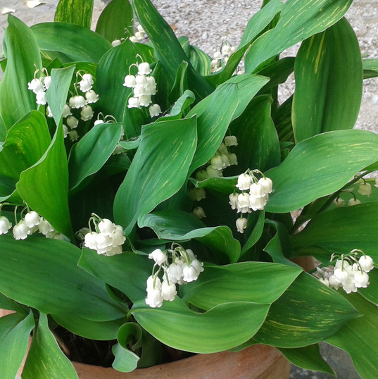 lilly of the valley .jpg