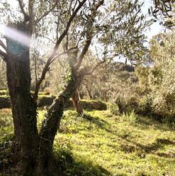 olive grove 2.jpg