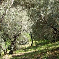 olive grove 1.jpg