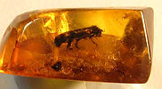 Fossil insect in Amber