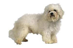 Rah Raw Rah Pet Food's Bichon