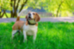 dog beagle on the walk in the park outdo