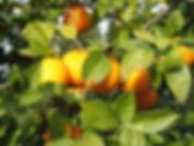 Apelsiner_W.jpg