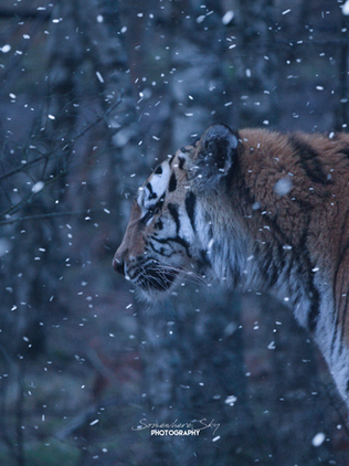 tiger.png