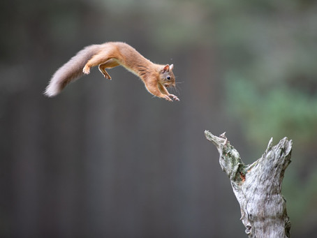 Grey Skies and Red Squirrels