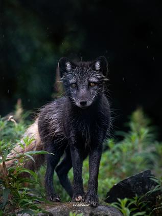 fox2.png