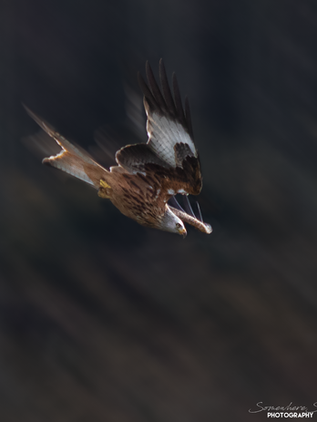 Red Kite2.png