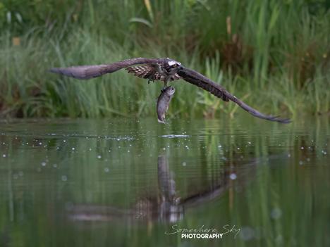 osprey2.png