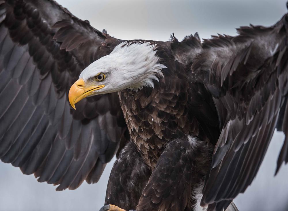 Adler, Fliegen, Stärken, Schwächen