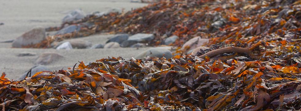 Seaweed banner jan.jpg