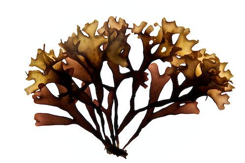 Chondrus Crispus ( Carrageen Moss)