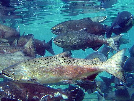 Final Action on Bering Sea Chinook Bycatch