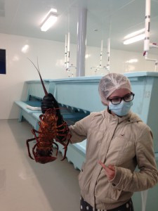This large red lobster is bound for China.