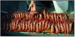Catch49 prawns