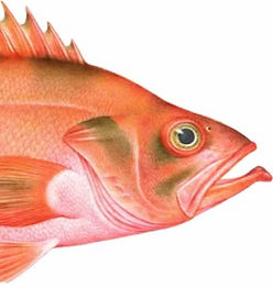 white-rockfish_edited.jpg