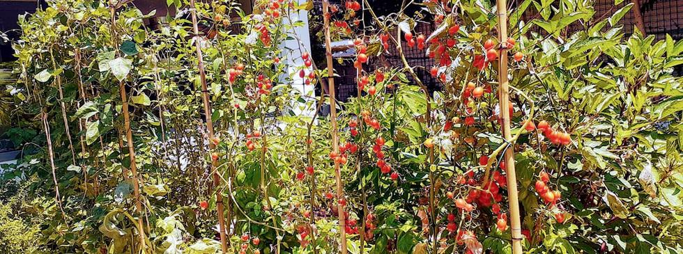 המון עגבניות שרי בהדלייה בגינה בהרצליה