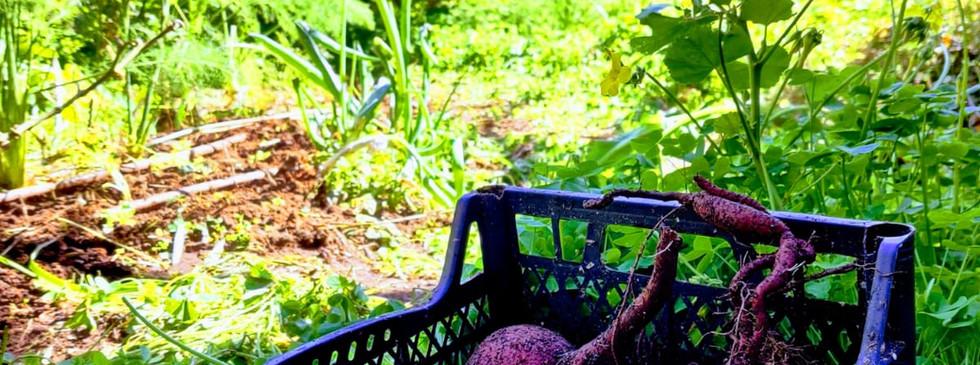 """יבול בטטות בגינה בפ""""ת"""