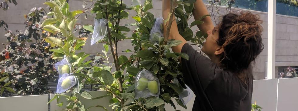 עץ תפוחים מניב