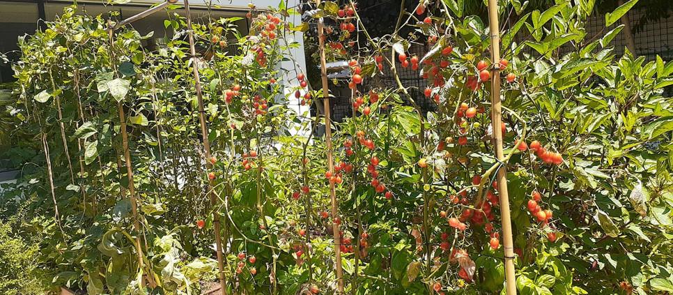 אילו צמחים גדלים בגינות המאכל בעונת הקיץ?