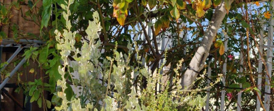 צמח המלוח, צמח מדברי המשמש לתיבול