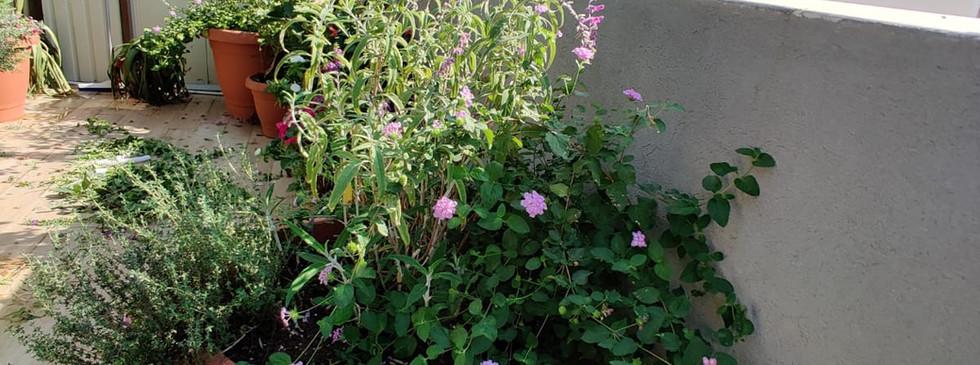 פינת צמחי תבלין ביניהם, זעתר ומרווה