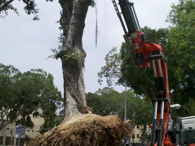 העתקת עצים גיא ברלב