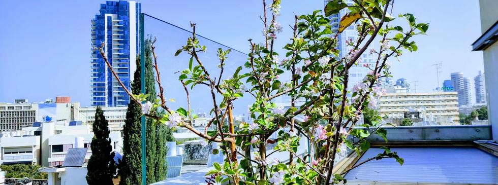 פריחת התפוח על גג במגדל