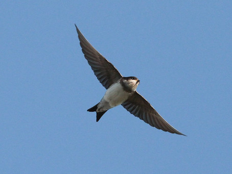 The housemartins have arrived