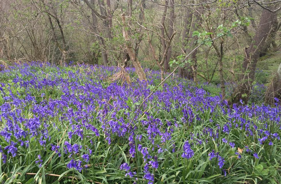 Bluebell meadow @scragoak