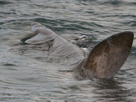 First Irish Basking Shark Satellite Tags Deployed