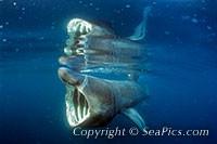 077348-200-basking-shark.jpg
