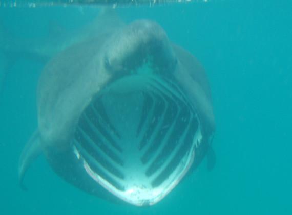 baskingshark mouth.jpg