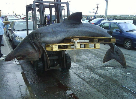 Selling Shark Meat is Illegal