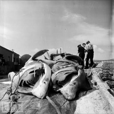 dead baskiers in ireland.jpg
