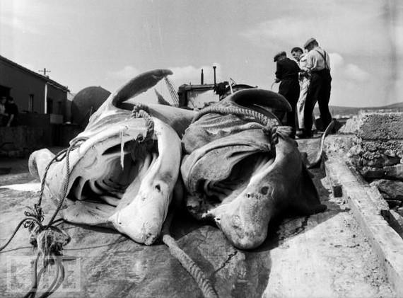 dead baskers in ireland jpg.jpg